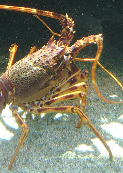 Crawfish and Lobster crustacean images UK