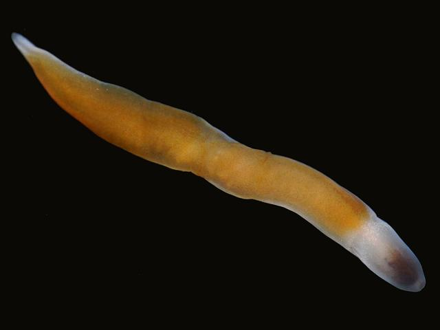 Nemertean species order polystilifera Newlyn Marina Ribbon worm Images